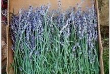 Lavender Ideas / by Hannah Grimaud
