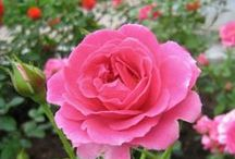 Attractive Pinky / Pink roses are  so lovely & gorgeous..........