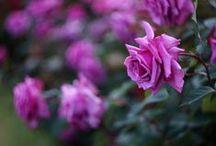 Violet Beauty / Violet is a fabulous colour........... Violet Roses are Marvellous.........