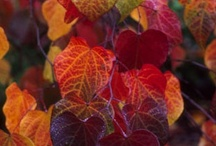 AUTUMN HAS SUCH BEAUTIFUL COLORS / Pretty colored Leaves, Scenery of Autumn season. / by Barbara Carrigan