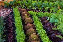 Užitková zahrada  / Zelenina, ovoce, zahonky