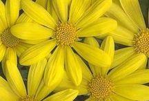Jubilant Yellow