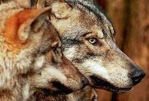 Wolf. / Волки....Люблю...
