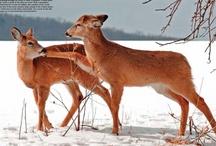 Deer, Moose, & Elk / Great pictures, illustrations, and information from out Deer, Moose, & Elk issue.
