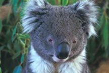 Koalas & Other Australian Animals