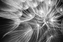 puhalluskukkia, dandelion