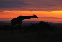 Beautiful Kenya / Our volunteer travelers experience Kenya with the animals.