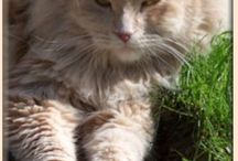 Siberian forest cats, hypoallergenic / My own cats and others.