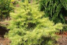 Abies concolor - Jodła kalifornijska