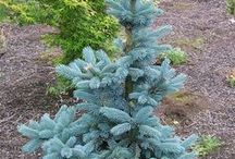 Picea engelmanii - świerk engelmana