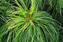 Pinus koraiensis - Sosna koreańska