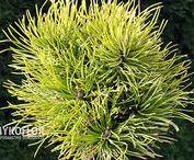 Pinus mugo - Sosna kosodrzewina