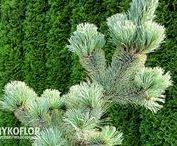 Pinus parviflora - Sosna drobnokwiatowa