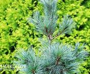 Pinus strobiformis - Sosna biała