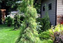 Pinus strobus - Sosna wejmutka