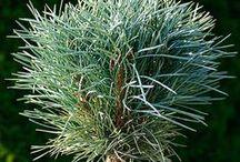 Pinus sylvestris  - Sosna pospolita