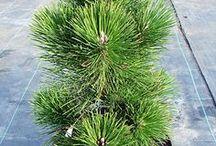 Pinus thunbergii - Sosna Thunberga