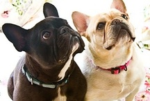 All about frenchies / French Bulldog