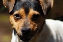 Fox Paulistinha (Brazilian Terrier) / Brazilian Terrier / Fox Paulistinha / Terrier Brasileiro