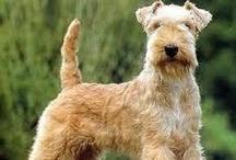 Lakeland Terrier / Lakeland Terrier  / by Dogs