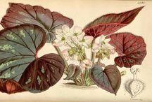 Botanical / rysunek, malarstwo, grafika  (prints, patterns, drawings, pictures)