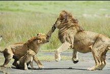 lvi a jiné šelmy