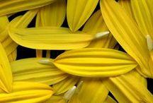 Yellow, Yellow, Yellow