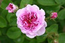Unsere  Rosen (historische und englische Rosen)