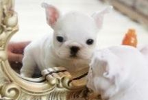French Babies Bulldogs