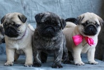 Dogs [Pugs] / Pins are for sharing; so pin away without fear of being block.  If you are a volume pinner please be courteous and follow me. Happy pinning!  :c) / by Cheri McDonald
