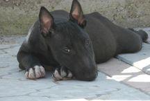 b u l l i e s / Bull Terrier love