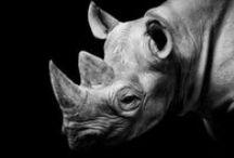 Rhino Horn / Save those beautiful animals!