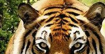 Tigers~
