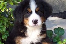 His name is Branson. / This is my future pup. His name is Branson and he is a Berner.