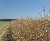 Canola Shoot / Shots of canola and the harvesting process.