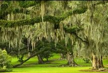Live Oak Trees / Louisiana Live Oak Trees found on Avery Island at the Jungle Gardens wildlife and nature preserve.