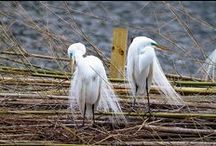Bird City / Edward Avery McIlhenny built his first aviary over 100 years ago here at this site. Bird City is home to thousands of egrets, herons, other water birds, and other wildlife.