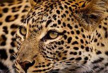 Leopards / Leopards, Panthers, Jaguars