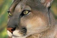 Cougar / Cougars, Mountain lions, Florida panthers