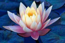 NİLÜFER (LOTUS ÇİÇEĞİ) (Water Lily)
