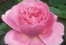 • Romancing The Rosé  / Garden roses.