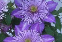 • Clematis • / Clematis flower vines
