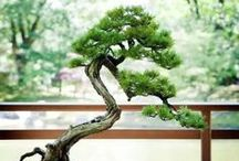 "BONSAI / IKEBANA / "" BONSAI "" are miniaturized potted plants*1 and trees for aesthetic appreciation and are an art form unique to Japan.  Let's travel around the world of "" BONSAI ""."
