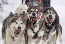 Sled dogs / Sled dogs experiences are available at Cairngorm Sleddog Centre in Aviemore