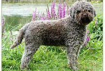 Lagotto Dog