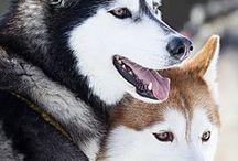 Husky, Alaskan malamute