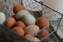 Chickens & Ducks / Information on raising chickens and ducks for meat and eggs (and fun!).