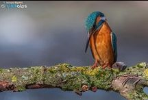 Fishing - Kingfisher - flying diamond / Kingfisher - flying diamond