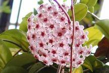 Flower - hoya / Hoya, voskovka