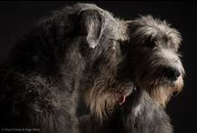 Dogs ❤ Irish Wolfhound / ❤  Addicted to Irish Wolfhound ❤